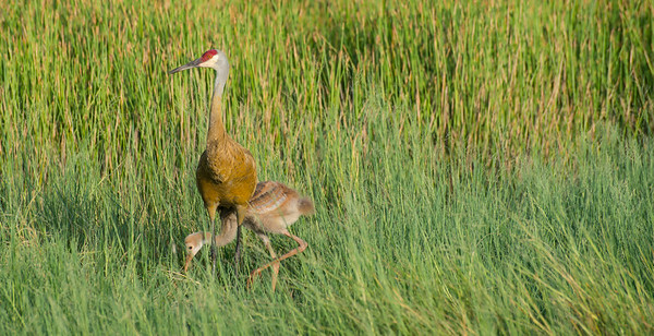 Sandhill Crane Mother and Child